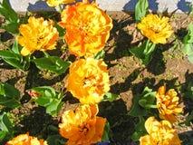 Orange tulips background in sunny day. Yellow tulips background in sunny day Royalty Free Stock Photos