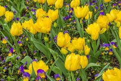 Yellow tulips background. Tulips in spring. Royalty Free Stock Image