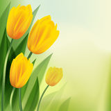 Yellow tulips. On backgrounds. Vector illustration Stock Images