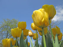 Yellow tulips with beautiful background. Yellow tulpis with the sky Royalty Free Stock Photo