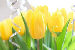 Yellow tulips, beautiful bouquet flowers close-up with blurred background stock photo