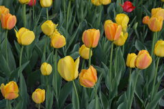 Yellow tulips on a bed, spring. Royalty Free Stock Images