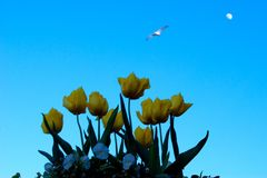 Yellow tulips, bird and the moon Royalty Free Stock Photo