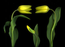 Yellow Tulips on Black Royalty Free Stock Images