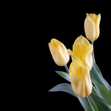 Yellow tulips on a black Stock Images