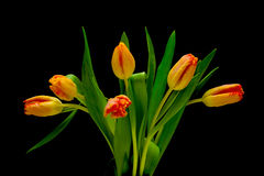 Yellow tulips on a black background Stock Photo