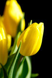 Yellow tulips on black background Stock Images