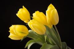 Yellow tulips on black background. Beautiful fresh yellow tulips on black background Stock Photos