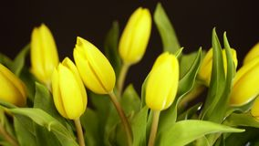 A bouquet of yellow tulips on a black background. The bouquet of tulips turns around itself on a black background. Yellow tulips on a black background. A bouquet stock footage
