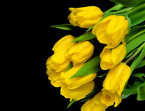 Yellow tulips on a black background closeup Royalty Free Stock Photo