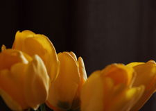 Yellow tulips on black background Royalty Free Stock Photography