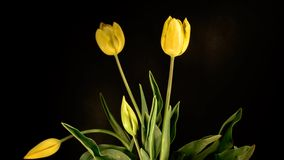 Yellow tulips on black background. Time lapse of yellow tulips on black background stock footage