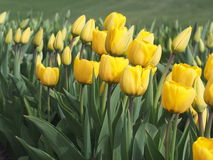 Yellow Tulips In Bloom Stock Image