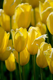 Yellow tulips blooming Royalty Free Stock Image