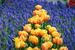 Yellow Tulips Blossoming in a Field of Grape Hyacinth Royalty Free Stock Image