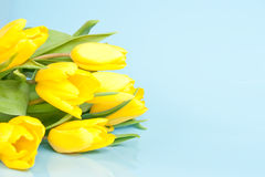 Yellow tulips on a blue background Stock Photo