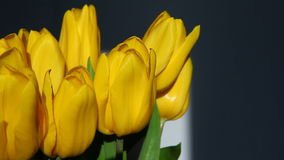 Yellow tulips on blue background stock footage