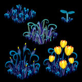 Yellow tulips with blue grass, stages growth Stock Photography