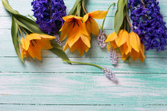 Yellow tulips and  blue hyacinths  flowers on turquoise wooden b Stock Photography