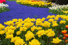 Yellow tulips and blue muscari in dutch garden Royalty Free Stock Photo
