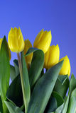 Yellow tulips in blue sky. Bundle of yellow tulips againts blue sky Stock Images