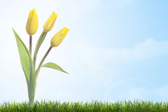 Yellow tulips on blue sky. Three yellow tulips on blue sky with green grass stock images