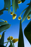 Yellow Tulips And Blue Sky Royalty Free Stock Photography