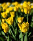 Yellow tulips blurred Stock Photos
