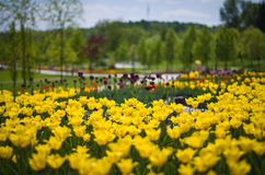 Yellow tulips. Stock Images