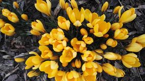 Yellow tulips in a bouquet Royalty Free Stock Images