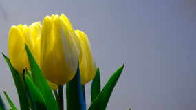 Yellow tulips bouquet Royalty Free Stock Photo