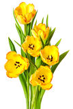 Yellow Tulips Bouquet Tulip Flowers Isolated. Tulips Yellow Red Orange Tulip Flowers Isolated on White Background stock images