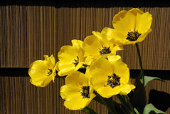 Yellow Tulips And Brown Siding Royalty Free Stock Images