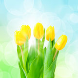 Yellow tulips bunch Royalty Free Stock Image