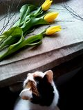 Yellow tulips and cat Stock Photography