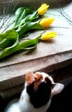 Yellow tulips and cat Royalty Free Stock Photo