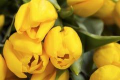 Yellow tulips. Macro shot Royalty Free Stock Photography