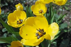 Yellow tulips close-up Stock Images