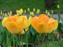 Yellow tulips close-up on a flower bed, in the background buds of undeclared tulips. Spring Stock Photos