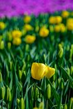 Yellow tulips close up in Holland gardens , spring time flowers. Keukenhof royalty free stock images