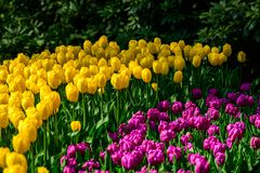 Yellow tulips close up in Holland , spring time flowers in Keukenhof. Beauty royalty free stock photography
