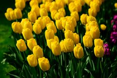Yellow tulips close up in Holland , spring time flowers in Keukenhof. Beauty royalty free stock photos