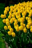 Yellow tulips close up in Holland , spring time flowers in Keukenhof. Beauty royalty free stock photo