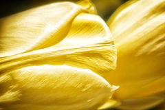 Yellow Tulips. Closeup view of the petals of some lovely yellow tulips Royalty Free Stock Image
