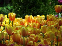 Yellow tulips. A cluster of cheerful yellow tulips Royalty Free Stock Image