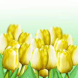 Yellow tulips. The collage. Royalty Free Stock Images