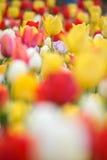 Yellow tulips. Colorful tulips in spring season Stock Image