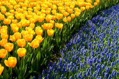 Yellow tulips and common grape hyacinths Stock Photo