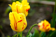 Yellow tulips in countryside garden with a blurred background. Some yellow tulips in countryside garden with a blurred dark background Royalty Free Stock Images