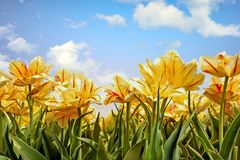 Yellow tulips in the countryside from the Netherlands Royalty Free Stock Photography